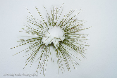 Longleaf pine sapling in snow