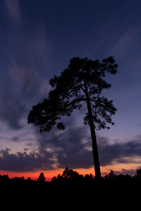 Longleaf pine after sunset with blurred clouds