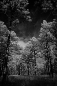 Piney Woods infrared