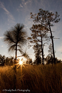 Sunset through longleaf pines