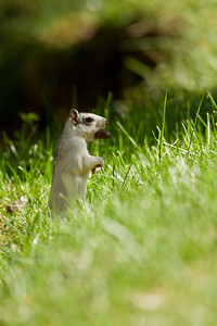 White squirrel in cut grass carrying nut.