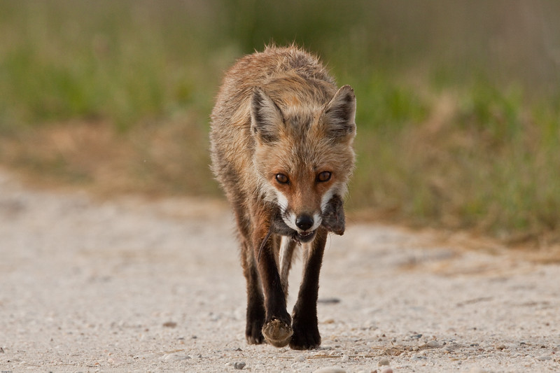 red-fox-female-with-rat.jpg