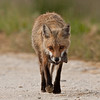 Red fox vixen returns with a meal for her kits