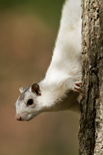 White squirrel on side of tree