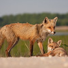 Red fox vixen and kit
