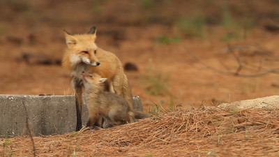 Red fox den