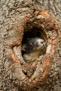 Southern fox squirrel pup looking out of den tree