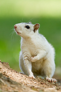 White squirrel posing
