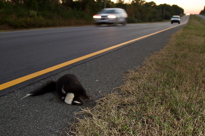 Road killed skunk
