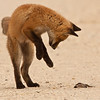 Red fox kit playing with dead snake