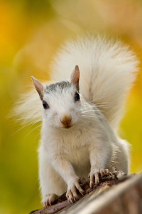 White gray squirrel