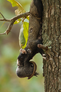 Eastern fox squirrel carrying young pup.