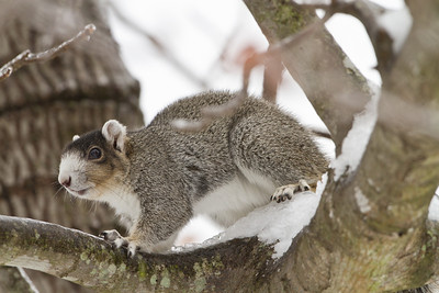 Eastern fox squirrel in snow.