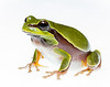 Pine Barrens Treefrog, Hyla andersonii, Richmond County, North Carolina, May, Brady Beck