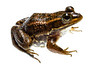 Carpenter Frog, Lithobates virgatipes, Richmond County, North Carolina, May, Brady Beck