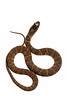 Juvenile Banded Watersnake, Nerodia fasciata fasciata, Scotland County, North Carolina, June, Brady Beck