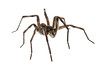 Funnel Weaver Spider, Tegenaria sp, Scotland County, North Carolina, June, Brady Beck