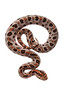 Pigmy Rattlesnake, Sistrurus miliarius, Scotland County, North Carolina, June, Brady Beck