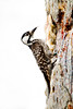 Red-cockaded Woodpecker, Picoides borealis, Richmond County, North Carolina, May, Brady Beck