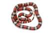 Scarlet Snake, Cemophora coccinea, Scotland County, North Carolina, May, Brady Beck