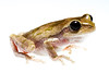Pine Woods Treefrog, Hyla femoralis, Richmond County, North Carolina, May, Brady Beck