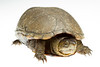 Eastern Mud Turtle, Kinosternon subrubrum, Richmond County, North Carolina, June, Brady Beck