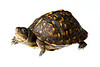 Eastern Box Turtle, Terrapene carolina, Richmond County, North Carolina, May, Brady Beck