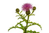 Sandhill Thistle, Cirsium repandum, Scotland County, North Carolina, May, Brady Beck