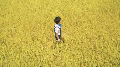 稲刈り体験 Rice harvesting