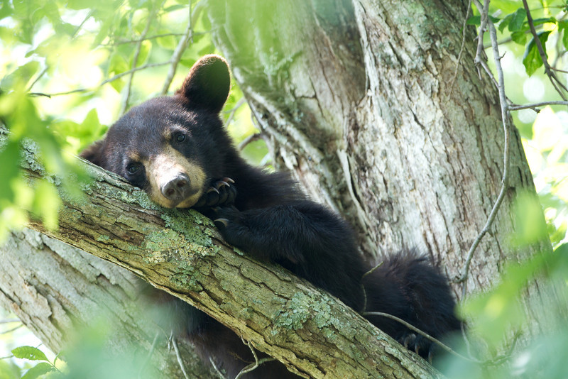 Black bear yearling resting in White Oak tree.
