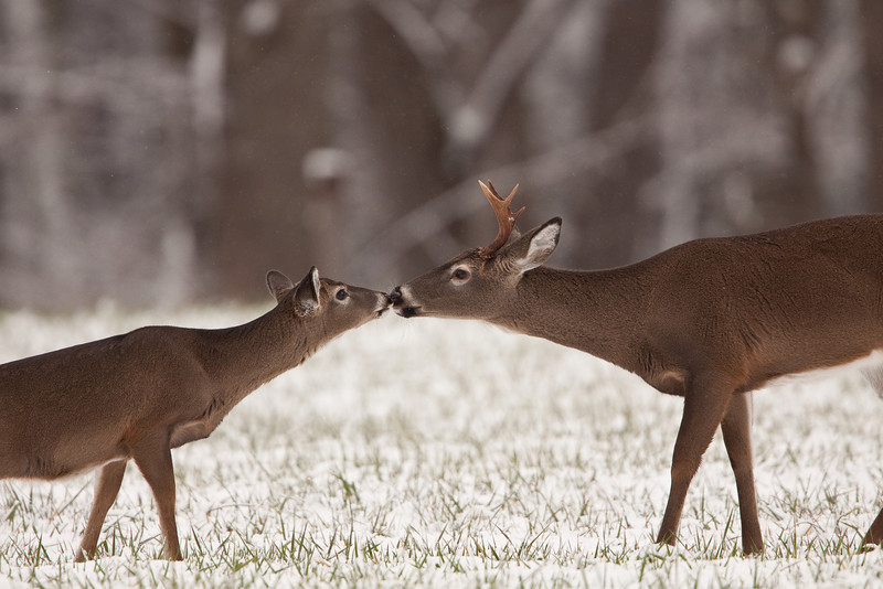 White-tailed deer touching noses.