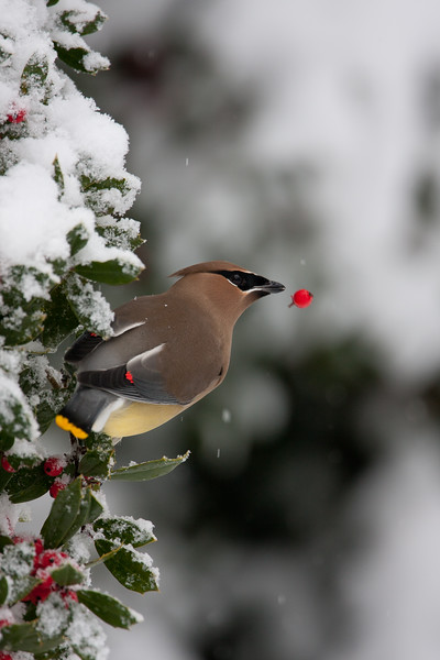 Cedar waxwing eating holly berries in snow.