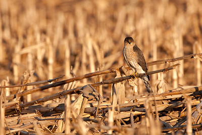 Sharp-shinned hawk foraging in corn stubble.