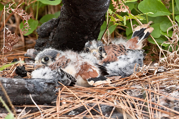 Recently fledged American Kestrel pair under burned pine log.