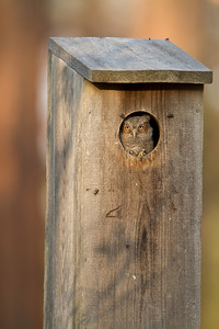 Eastern screech owl nestling in wood duck box