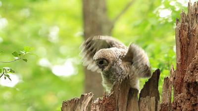 Barred owl nestling