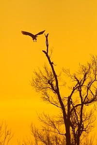 Red tailed hawk taking flight in early morning glow.