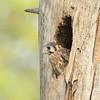 American Kestrel nest
