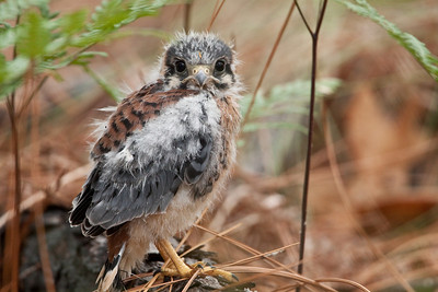 Recently fledged American Kestrel on pine log.