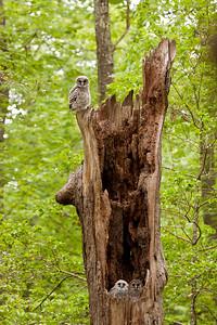 Barred owl nestlings in oak snag