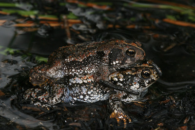 Oak toads mating.