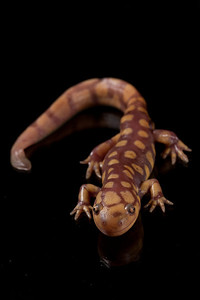 Eastern tiger salamander on glass