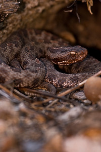Pigmy Rattlesnake warming up on Sandhills Game Land.