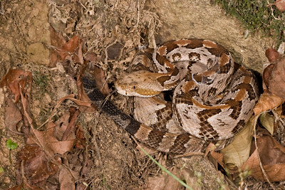 Timber rattlesnake coiled to strike.