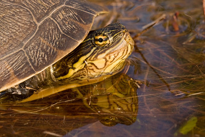 Chicken turtle reflection in water.