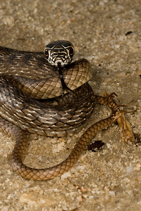 Young Eastern Coachwhip on sand road.