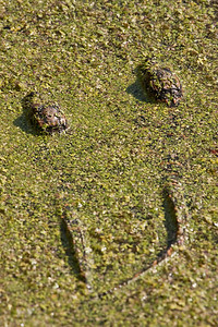 American alligator hatchlings in duckweed.