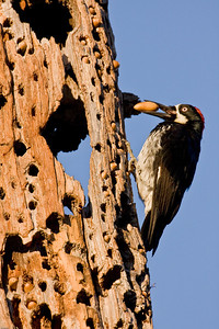 Adult female Acorn Woodpecker with acorn in bill at granary.
