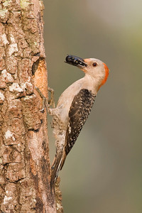 Red-bellied woodpecker bringing poke berries to nest in oak snag.