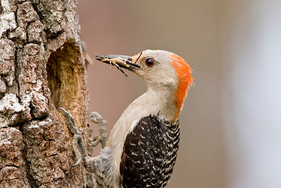 Red-bellied woodpecker female with grasshopper at nest in oak snag.